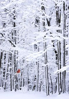 White forest snow with cardinal