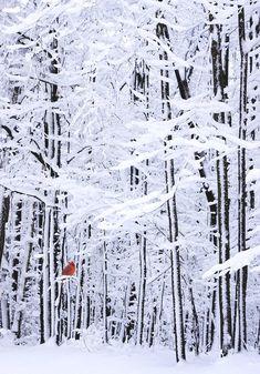 ❖Blanc❖ White forest #snow scene red cardinal #Winter #photography idea blanketofwhite.com
