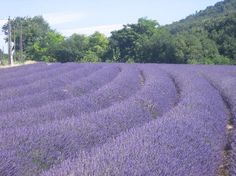 Lavender fields near Sault - just looking at this photo calms me