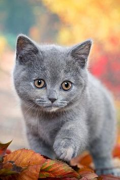 "Kitten: ""My colour is a silver grey and come what may, I'm on my way to who knows where?  But I'm simply without a care!""  (Short Poem Written By: © Lynn Chateau.)"