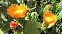 Flowering cacti near Vaqueiros