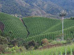 Cultivo Frijol. Sonson Antioquia Colombia