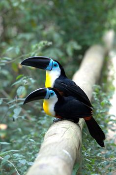 Two Channel-billed Toucans (Ramphastos vitellinus) at Birds of Eden, South Africa