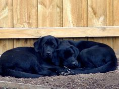 Sweet Labs...Re-pinned by StoneArtUSA.com ~ affordable custom pet memorials since 2001