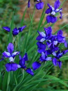 Siberian Iris 'Super Ego'