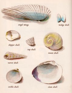 Shell illustration (no date or artist info)