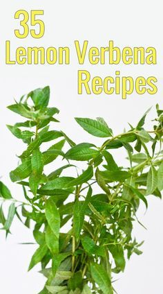 Got lemon verbena overflowing in your garden and want to use it beyond tea? This list of 35 brilliant lemon verbena recipes is sure to inspire you!