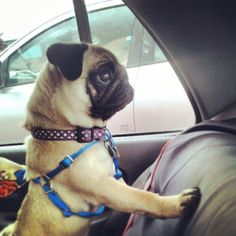 shipwreckedb0nes: Cocoa thinks everything is interesting in the car. #pugsofinstagram #pugstagram #pug #puppy #cute