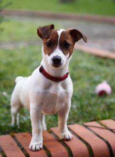 Jack Russell Terrier by Marilar Irastorza - Stocksy United Chien Jack Russel, Jack Russell Mix, Jack Russell Puppies, Jack Russell Terriers, Jack Terrier, Rat Terriers, Terrier Puppies, White Terrier, Terrier Mix