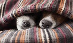 Lekker verstoppen onder de deken #hond #dog  #LandIdee www.landidee.nl Foto: Shutterstock
