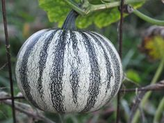 A lovely 6-lb round squash that has fine white and green stripes! Very easy to grow, and the long vines produce an incredible amount of fruit here!