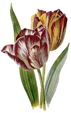 Vintage Flower Botanical Tulip Color Plate to Print @ Vintage Fangirl