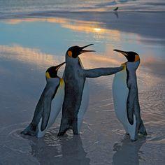 Eine Pinguin-Frau sucht Schutz hinter dem Rücken ihres Mannes, der mit…