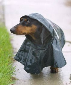 Wiener raincoat. Dante totally hates rain... which is funny cause he won't stay out of the shower if I am taking one. lol