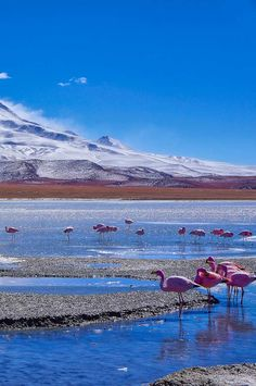 Flamingoes in Laguna Hedionda near the Uyuni Salt Flats in Bolivia