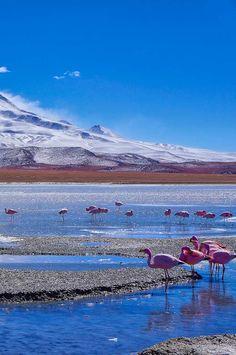 Flamingoes in Laguna Hedionda near the Uyuni Salt Flats in Bolivia