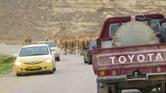 Traffic jam, Omani-style!  #middleeast