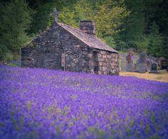 Field of bluebells at St John's Episcopal Church, Ballachulish, Lochaber, ScotlandbyMickdo101