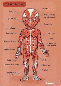 Could be useful for teaching an anatomy lesson in Spanish Spanish Vocabulary, Spanish Language Learning, Teaching Spanish, Medicine Notes, Health Unit, Medical Anatomy, Med Student, Anatomy And Physiology, Spanish Lessons
