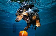 Una idea genial de la mano del Seth Casteel, un fotógrafo de mascotas. Lo único que necesitas es una piscina, la cámara con cáscara sumergible y por supuesto una mascota. Los gatos no sirven,  escoge mejor al perro ;) con esta combinación tienes la diversión asegurada. Seth Casteel  trabaja para secondchancephotos.org y con sus fotos ayuda a rescatar a los perros y gatos callejeros. Pero si quieres ver más perros bajo el agua esta es su página: littlefriendsphoto.com
