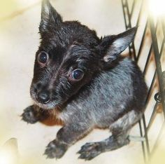 Check out Acorn   Puppy!'s profile on AllPaws.com and help him get adopted! Acorn   Puppy! is an adorable Dog that needs a new home. https://www.allpaws.com/adopt-a-dog/australian-cattle-dog-blue-heeler-mix-australian-shepherd/5414114?social_ref=pinterest