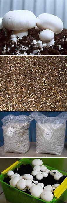 Выращивание грибов шампиньонов в домашних условиях. | Мое подворье