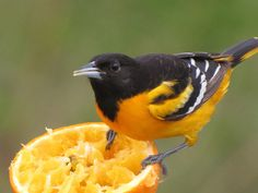 "Attached is a photo taken by my wife, Debi MacKay on May 9, 2014. We were attending the Northwest Ohio Birding Festival, aka ""The Biggest Week in American Birding"". It's of a male Baltimore oriole. Someone had set out oranges to attract the orioles, who were migrating through that area. I am frequently asked about orioles (the bird, not the team) by Baltimore residents who have never seen this iconic bird. So here is a photo of one in all its breeding plumage glory!"