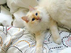 Iniko, Birman cat