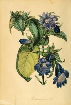 Strobilanthes glomerata - circa 1839. Antique botanical illustration.
