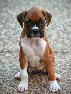 Lizzy the Boxer puppy