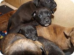 ADOPTED!! Thomaston, GA - Hound (Unknown URGENT**/Labrador Retriever Mix. Meet Hill Street Blues a **MOM AND 9 PUPS** for Adoption.--Mom and 9 pups, 5 girls and 4 boys, eating dry food and still nursing from tie to time,....Avail immediately.!!-- Act quickly to adopt Hill Street Blues. Pets at this shelter may be held for only a short time.!!!