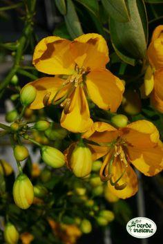 Cassia, una specie da fiore per l'autunno a clima mite Floral, Flowers, Flower