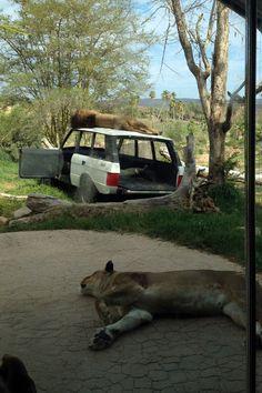 Lions at the San Diego Zoo Safari Park #animals