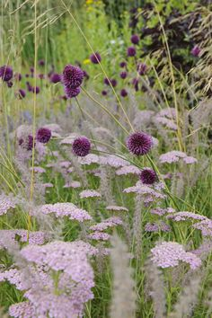 Allium sphaerocephalon with pink achillea