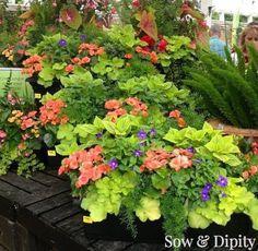 The planters above have Heuchera 'Lime Rickey', Foxtail Fern, Torenia (the purple flower), Wax Begonias, Coleus.