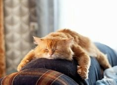 Ginger Cat Sleeping on the Back of the Couch.