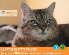 Monis Besitzerin wurde pflegebedürftig und Mini verstand die Welt nicht mehr.  http://www.tierheimhelden.de/katze/tierheim-dallau/ekh/moni/4180-1/  Aufgrund der Situation hegte Mini zunächst Misstrauen gegenüber den Tierheimmitarbeitern. Mittlerweile zeigt sie sich aber offener und freundlicher. Katzengesellschaft sowie Kinder wird Moni vermutlich nicht als Vorteil empfinden.
