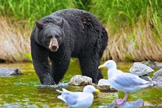 """Black Bears Need Fish Too!!"" by Buck Shreck, via 500px."
