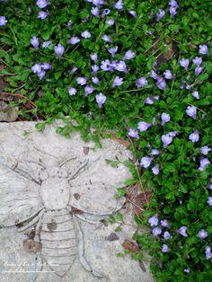 Mazus Reptans ~  Groundcover (Garden of Len & Barb Rosen)