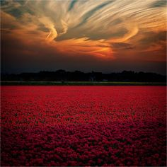 rideaux rouge — ponderation: Sunset over tulip field by. Landscape Photos, Landscape Photography, Nature Photography, Photography Tips, Scenic Photography, Aerial Photography, Night Photography, Wedding Photography, Nature Pictures