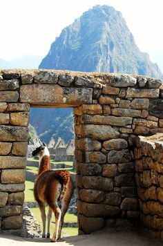 Llama in the window, Machu Picchu, Peru