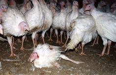 22 Facts That Might Make You Pass on Turkey This Year | Vegan Food | Living | PETA