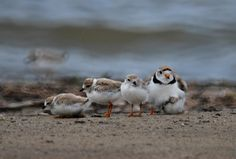 Species at Risk: Piping Plover (Status = Endangered) Wasaga Beach, Bird Pictures, Natural History, Ontario, Bugs, Parks, Places To Visit, To Go, Creatures