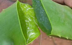 """Sandra Ianculescu -L'Aloe Vera è stata usata fin dall'antichità per curare varie malattie. Gli antichi Egizi la chiamavano anche """"la pianta dell'immortali"""