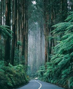 westeastsouthnorth:  Black Spur Drive, Victoria, Australia  one of the first places i'm going to when i get my license