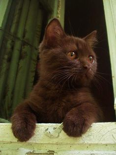 .Chocolate Kitty.