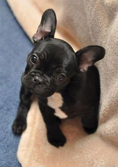 french bulldog puppy Looks like the French bulldog version of my pup Bella same coloring and white spot Cute Dogs Breeds, Dog Breeds, Cocker Spaniel, Cute Puppies, Dogs And Puppies, Doggies, Dachshunds, Pug, Baby Animals