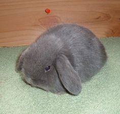 Holland Lop Doe - Blue; 4 weeks old