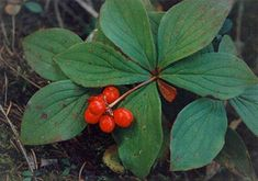 Bunchberry Berries (Cornus Canadensis) in Ontario  berries have mild taste. berries have hard/crunchy central seed, which is edible. plant can be found in foothills and montane regions. warning: unripe berries can cause stomach cramps.
