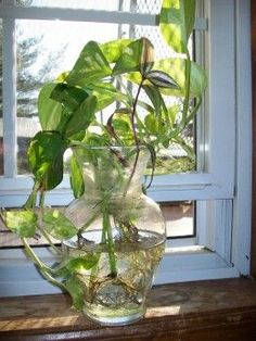 Glass vases can be found at thrift stores and are a very cheap container for growing Pothos or other houseplants in water